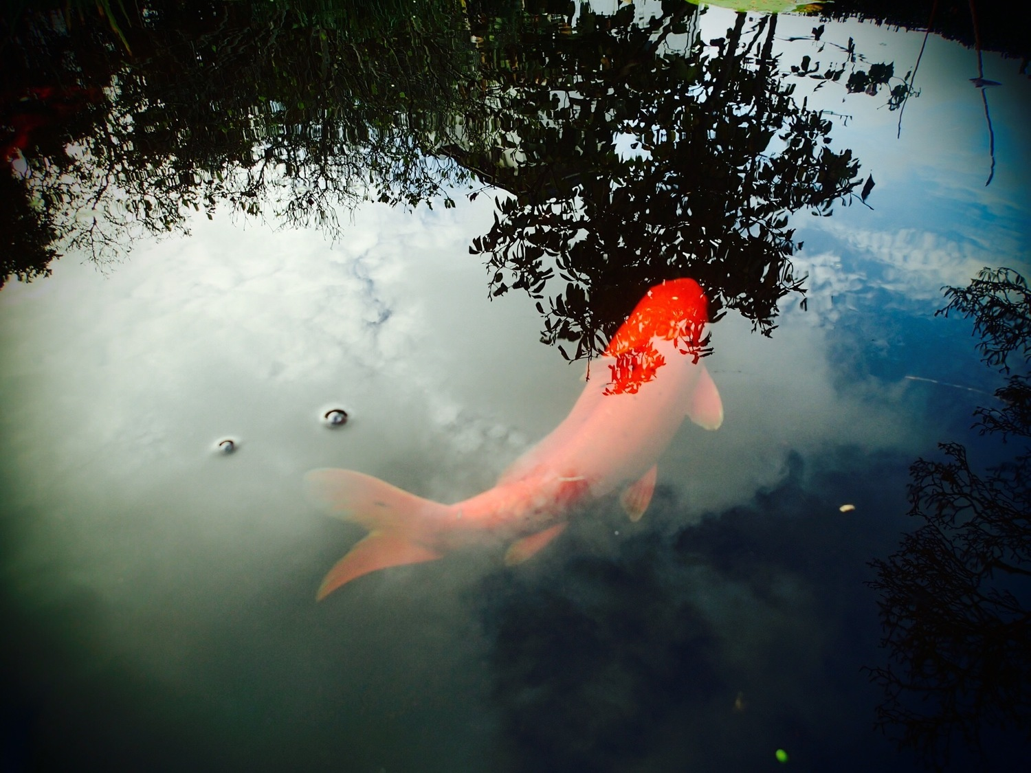 Big Orange Koi (Print Only)