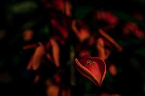 Red Flower (Unframed Print) in edition  of 10