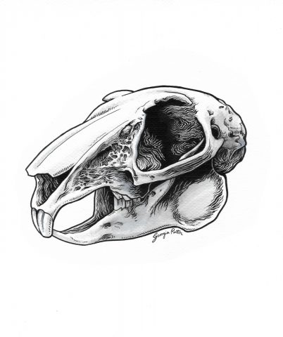 Rabbit Skull Study (Framed)